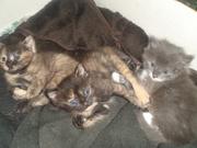 трехцветные котята!!